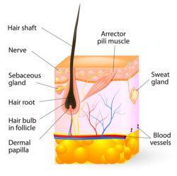 structure of beard hair follicle